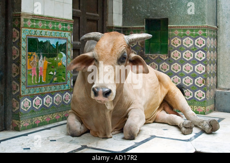 Horizontal close up of a huge sacred bull sitting infront of someone's doorway. - Stock Photo