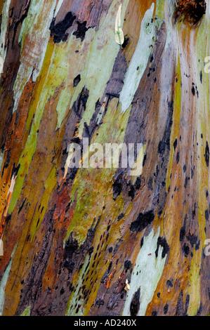 Eucalyptus tree peeling bark closeup texture background - Stock Photo