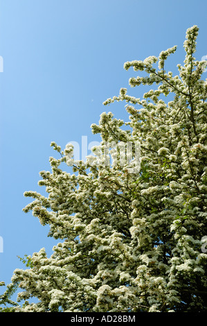 Hawthorn in blossom - Stock Photo