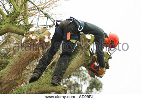 Tree surgeon, with chainsaw, leaning over in Weeping Willow tree Salix x chrysocoma Tristis January England - Stock Photo