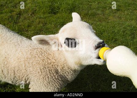dh Lamb SHEEP UK Hand feeding orphan lamb suckling from milk bottle feed fed farming lambs - Stock Photo