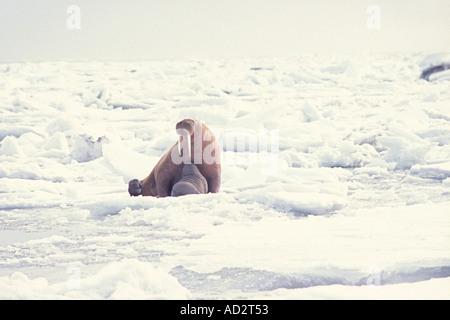 walrus Odobenus rosmarus mother nursing her spring calf on the pack ice of the Bering sea in Alaska - Stock Photo