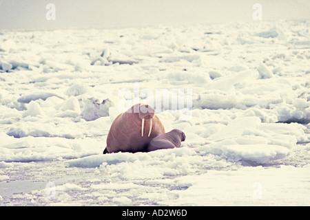 walrus Odobenus rosmarus mother with spring calf on the pack ice Bering Sea Alaska - Stock Photo