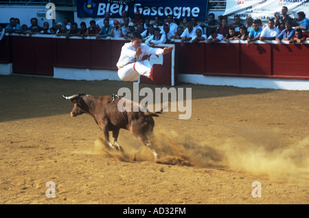 In Course Landaise sporting thrills include athletic young men, sauteurs, leaping or somersaulting over a charging - Stock Photo