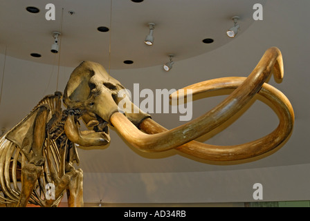 Columbian Mammoth, Mammuthus columbi, prehistoric skeleton with tusks from La Brea Tar Pits, Page Museum - Stock Photo