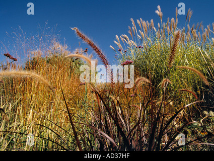 Ornamental Grasses Colorado Ornamental grasses in garden stock photo 32050344 alamy ornamental grasses growning in the denver botanic gardens in denver colorado usa workwithnaturefo