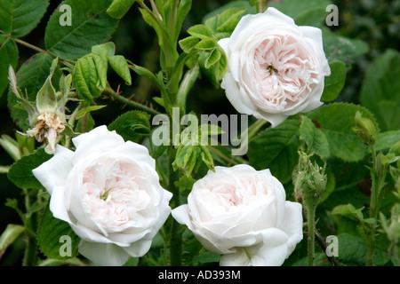Rose Madame Hardy - Stock Photo