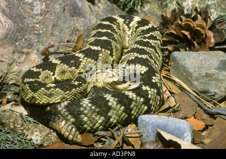 Northern Black Tailed Rattlesnake Crotalus molossus Arizona - Stock Photo