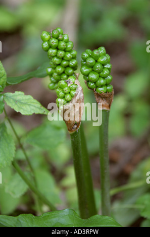 Cuckoo Pint Arum maculatum Araceae Also Known as Lords and Ladies Cuckoo Pintle and Wake Robin - Stock Photo