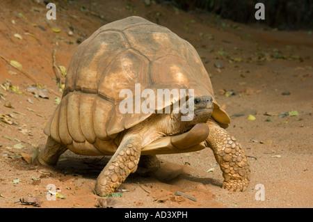 Madagascar Plowshare tortoise (Geochelone yniphora) Endangered Madagascar male - Stock Photo