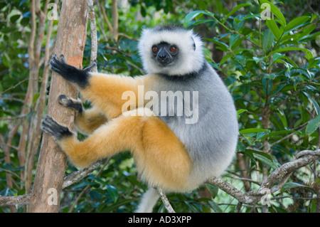 Diademed Sifaka Lemur (Propithecus diadema) Captive Madagascar - Stock Photo