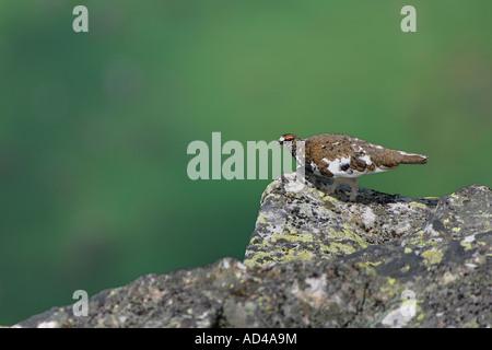 Male Rock Ptarmigan (Lagopus mutus), Bernese Oberland, Switzerland