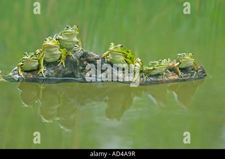 Edible frogs (Rana esculenta) sitting on a branch - Stock Photo