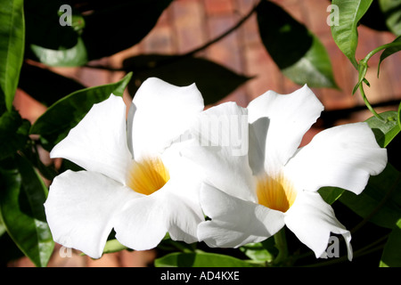 chilean jasmine stock photo royalty free image 21906886 alamy. Black Bedroom Furniture Sets. Home Design Ideas