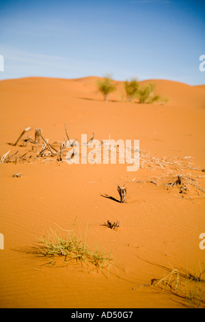 Sparse Vegetation in the Dunes - Erg Chebbi, Sahara Desert, Morocco, North Africa - Stock Photo