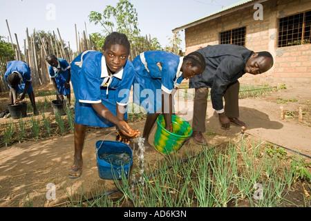 Headmaster helps students water onions in school garden primary school Berending village south of The Gambia