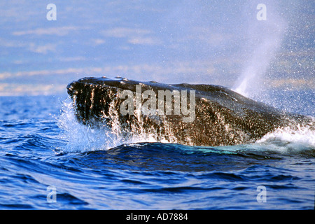 MALE HUMPBACK WHALE IN COMPETITIVE GROUP LUNGING IN PURSUIT FOR FEMALE WHALE MEGAPTERA NOVAEANGLIAE HAWAII - Stock Photo