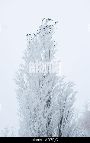 Black birds perched in a Poplar Tree covered in Freezing Fog Ellensburg Washington USA - Stock Photo