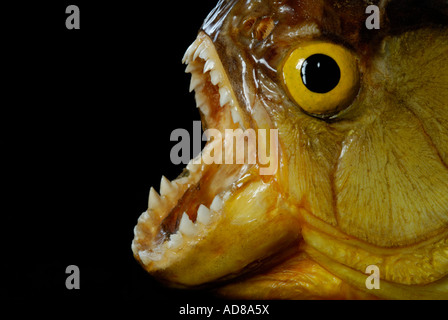 Piranha with mouth open showing teeth against black background - Stock Photo