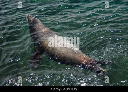 Galapagos Sea Lion (Zalophus californianus wollebacki) swimming on North Seymour Island on the Galapagos Islands, - Stock Photo