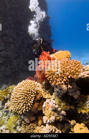 scuba diver in turquoise water alongside colourful coral reef and fish in the Red Sea - Stock Photo