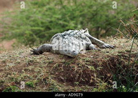 Nile Crocodile in the Tsavo West National Park Kenya - Stock Photo
