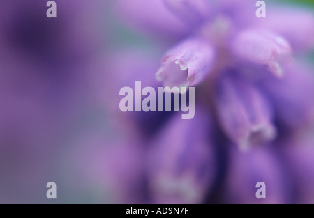 Close up detail of part of flower head of Grape hyacinth or Muscari armeniacum - Stock Photo