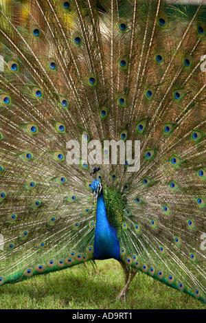 Peacock, Ardastra Gardens Zoo & Conservation Centre. Nassau, New Providence, Bahamas. - Stock Photo