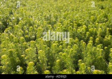 Mass of spruce  ( picea abies )  saplings in transport ready to be planted - Stock Photo