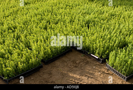 Mass of spruce  ( picea abies )  saplings in transport boxes ready to be planted - Stock Photo
