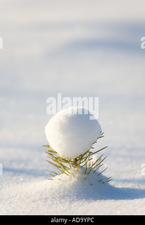 Small pine ( pinus sylvestris ) sapling half buried into fresh new snow - Stock Photo