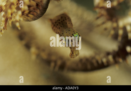 bigfin reef squid (Sepioteuthis lessoniana), juvenile in a feather star, Indonesia, Sabang Beach - Stock Photo