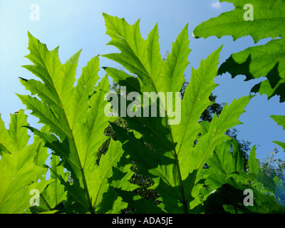 giant hogweed (Heracleum mantegazzianum), leaflets in backlight - Stock Photo