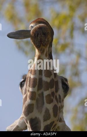 giraffe (Giraffa camelopardalis), searching leaves - Stock Photo
