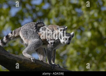ring-tailed lemur (Lemur catta), with twins - Stock Photo