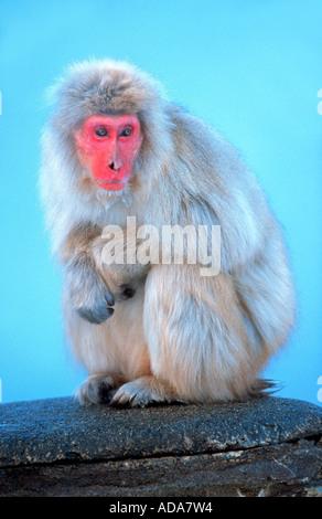 Japanese macaque, snow monkey (Macaca fuscata), sitting on stone, Japan, Nagano, Honshu - Stock Photo