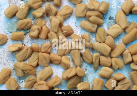 fenugreek (Trigonella foenum-graecum), seeds - Stock Photo