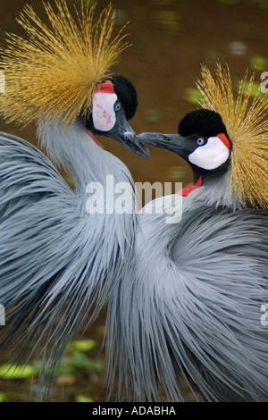 crowned crane (Balearica pavonina) - Stock Photo