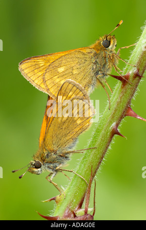 Pair of Large Skipper Butterflies Mating - Stock Photo