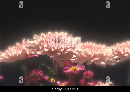 Pink Chrysanthemum Flowers Row Assortment Outside In The Garden - Stock Photo