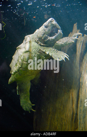 alligator snapping turtle Lowry Park Zoo Tampa Florida FL voted the number one zoo in the United States - Stock Photo