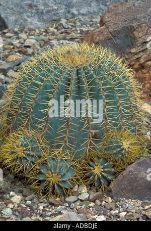 Blue Barrel Cactus, Ferocactus glaucescens - Stock Photo