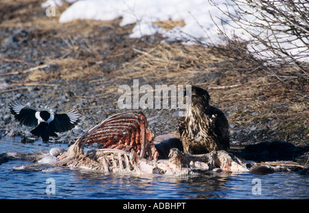 Bald Eagle Haliaeetus leucocephalus immature eating on Moose Carcass Portage Glacier Alaska USA March 2000 - Stock Photo