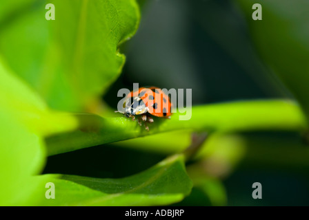 Horizontal macro of a red and black spotted Harlequin lady beetle, aka ladybug or ladybird walking along a green - Stock Photo