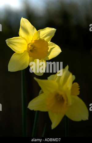 Daffodils back lit against a dark background - Stock Photo