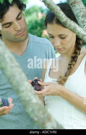 Couple by tree, looking down at plums in hands - Stock Photo