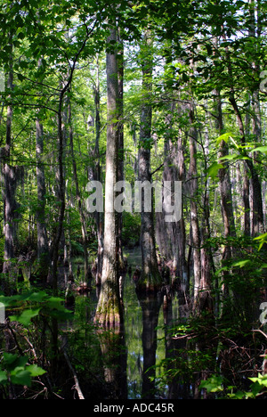 A Stand of Bald Cypress Trees in Swampland at First Landing State Park Virginia United States America - Stock Photo