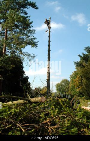 Tree Surgeon at Top of Pine Tree England UK - Stock Photo