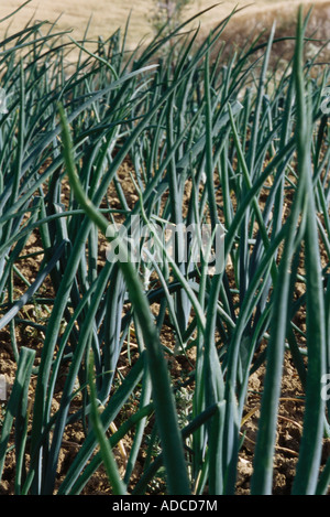 Onions growing in field, close-up