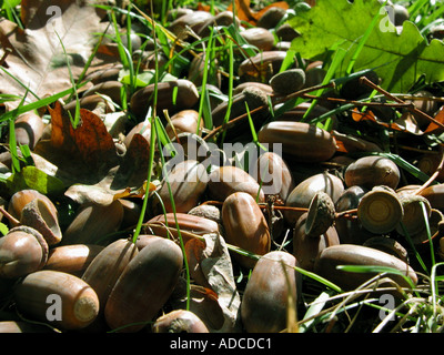 acorns laying down the oaktree NUT bavaria germany europe - Stock Photo